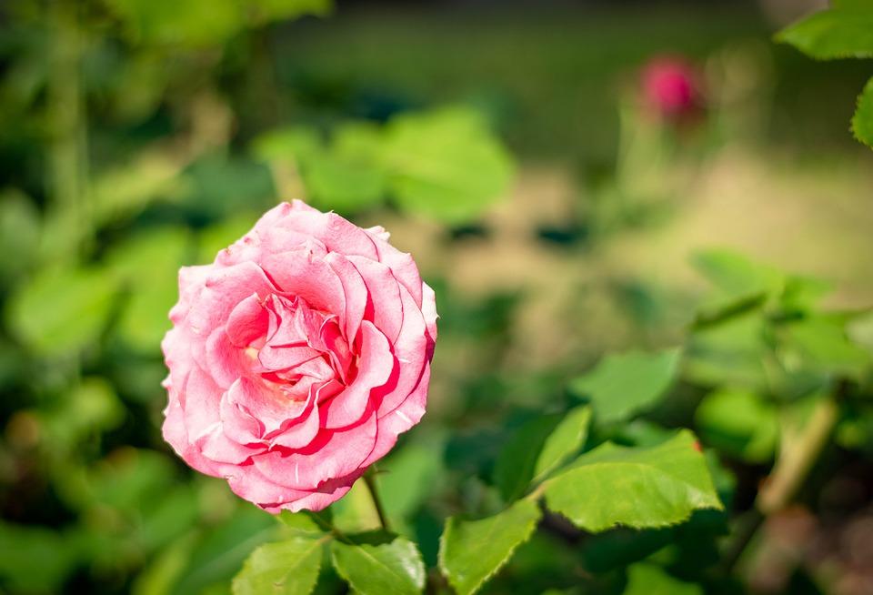 rozkvetlá růže